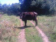 Продам корову 4года кличка Квитка.